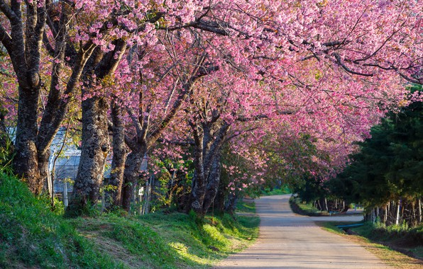 Picture trees, branches, Park, spring, Sakura, flowering, pink, blossom, park, tree, sakura, cherry, spring, bloom