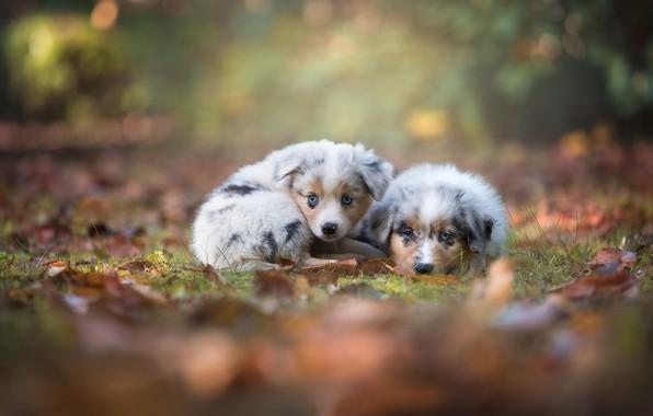 Picture autumn, look, puppies, kids, a couple, bokeh, Australian shepherd, Aussie