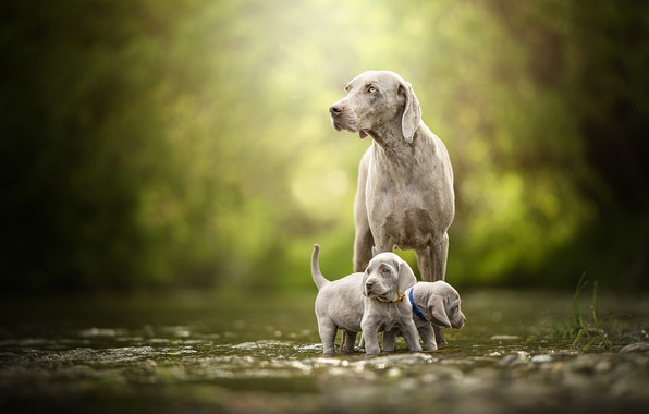 Picture dogs, puppies, walk, kids, a couple, bokeh, twins, The Weimaraner, Weimar pointer