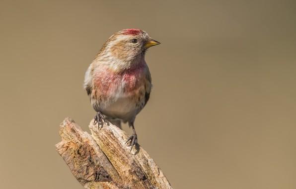 Picture birds, stump, tap dance, finches