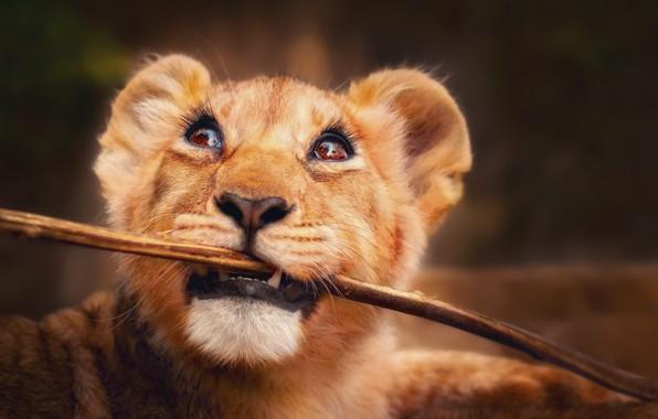 Picture eyes, look, Leo, lion, stick, little lion