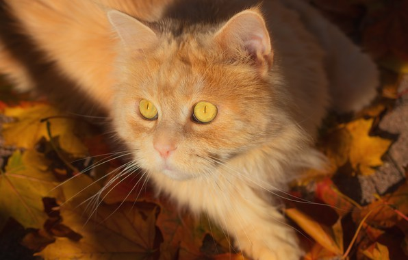 Picture cat, look, leaves, muzzle, red cat, cat