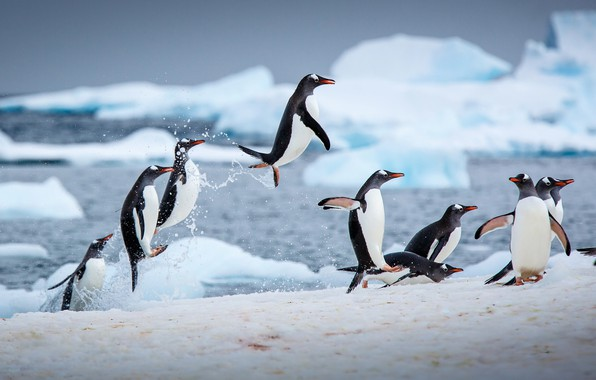 Picture winter, water, ice, penguins, jumping