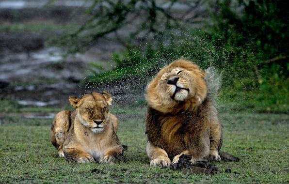 Picture squirt, rain, Leo, lions, lioness, wet