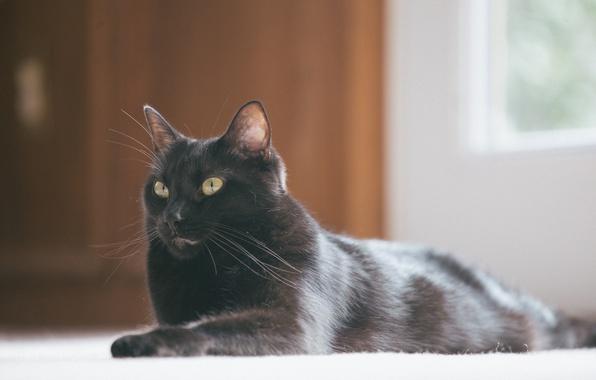 Picture cat, black, lies