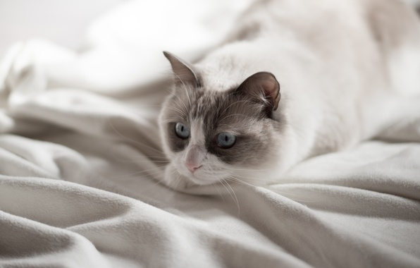 Picture cat, eyes, look, blue