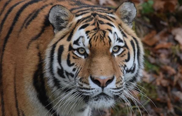 Photo wallpaper look, eyes, face, The Amur tiger