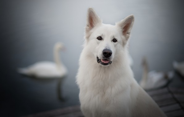 Picture look, face, portrait, dog, swans, bokeh, The white Swiss shepherd dog