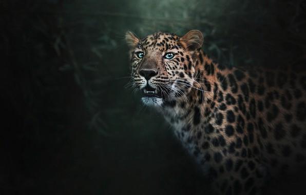 Picture face, background, predator, leopard, fangs, twilight, bokeh