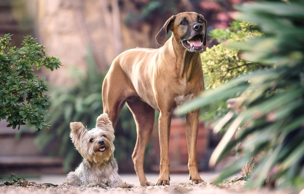 Picture a couple, two dogs, Yorkshire Terrier, large and small, Rhodesian Ridgeback