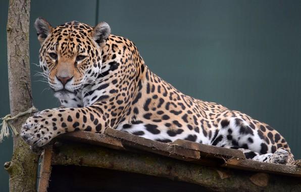 Picture stay, Leopard, Cat, Beauty, Wild