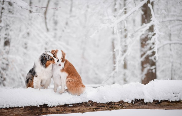 Picture winter, forest, snow, love, a couple, two dogs, Australian shepherd, Aussie