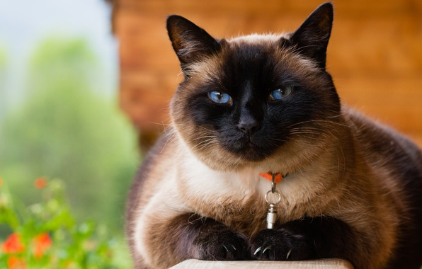 Picture cat, cat, face, nature, background, portrait, collar, blue eyes, Siamese, Siamese