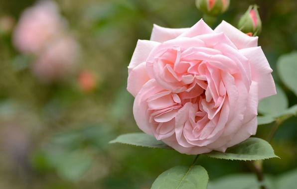 Picture tenderness, rose, petals, bokeh