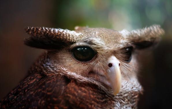 Picture eyes, owl, bird, portrait