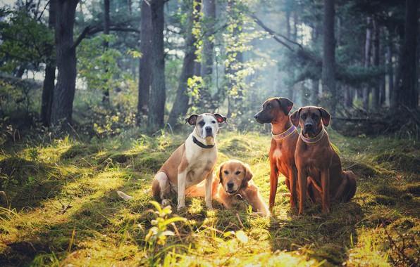 Picture forest, dogs, company, friends, Quartet, Golden Retriever, Rhodesian Ridgeback