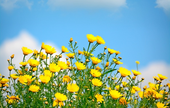 Wallpaper field, the sky, the sun, spring, yellow, flowers ...