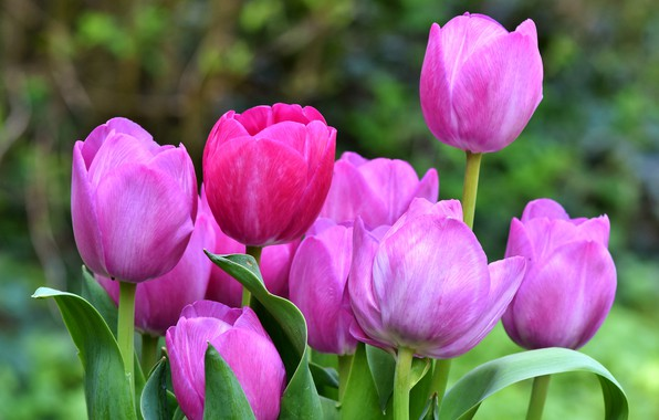 Picture leaves, flowers, green, background, spring, garden, tulips, pink, company, buds