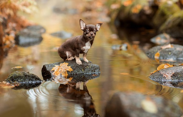 Picture autumn, leaves, water, reflection, stones, doggie, Chihuahua, dog