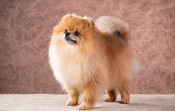 Picture look, dog, fluffy, muzzle, dogs, Spitz