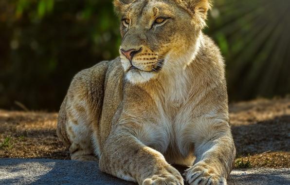 Picture light, predator, lies, lioness, wild cat