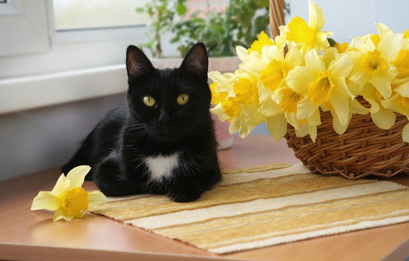 Picture cat, cat, flowers, black, basket, window, muzzle, lies, yellow, daffodils, on the table, bokeh