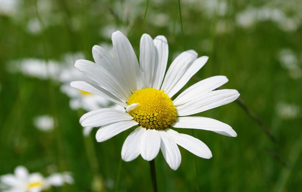 Picture Macro, Spring, Daisy, Flower, Spring, Bokeh, Bokeh, Macro