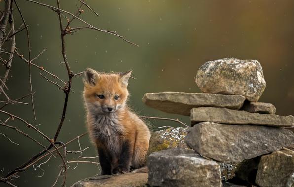 Picture branches, stones, Fox, Fox