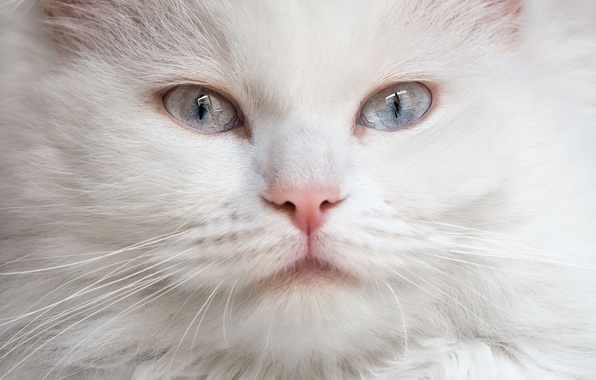 Picture cat, look, muzzle, white, blue eyes, fluffy