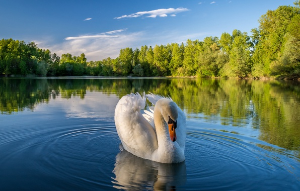 Picture trees, landscape, nature, lake, Swan