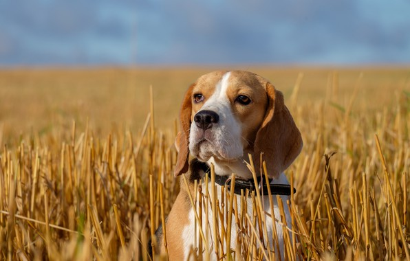 Picture field, look, face, portrait, dog, stubble, Beagle