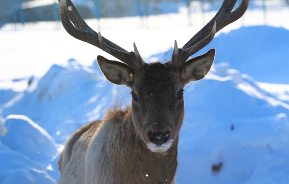 Picture forest, look, snow, background, deer