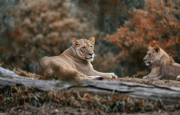 Picture nature, stay, pair, lions