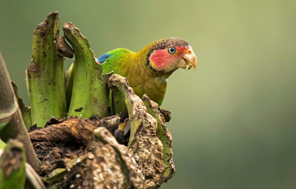 Picture background, bird, parrot, Rosy-cheeked parrot