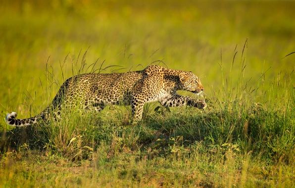 Picture predator, leopard, sneaks