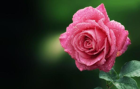 Picture rose, petals, Bud, Cali water