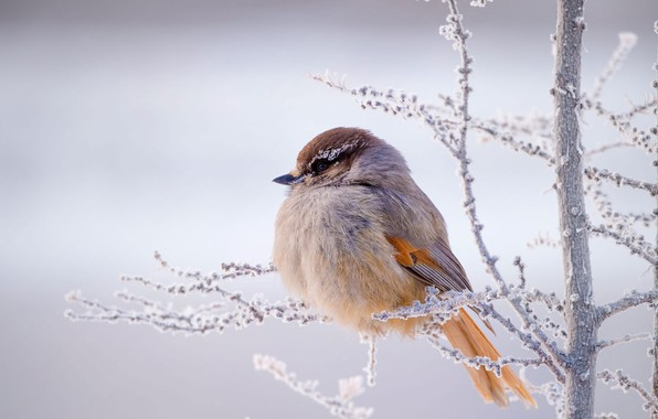 Picture winter, frost, branches, bird, Kuksha