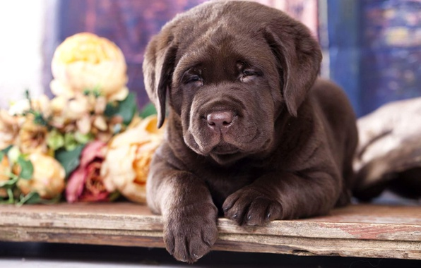 Picture flowers, puppy, Labrador, chocolate