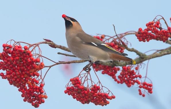 Picture nature, berries, bird, Rowan, the Waxwing