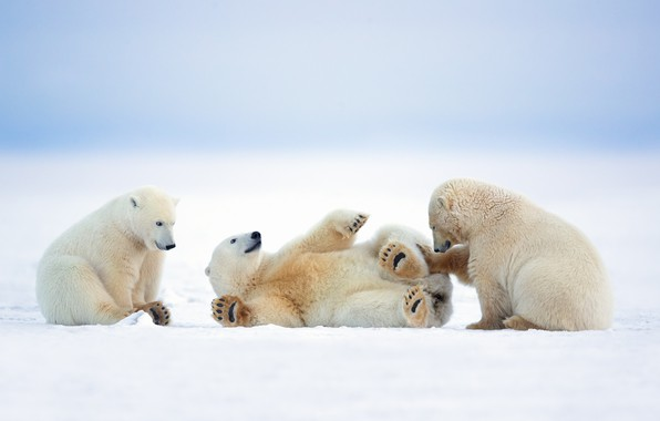 Picture winter, snow, nature, the game, polar bears