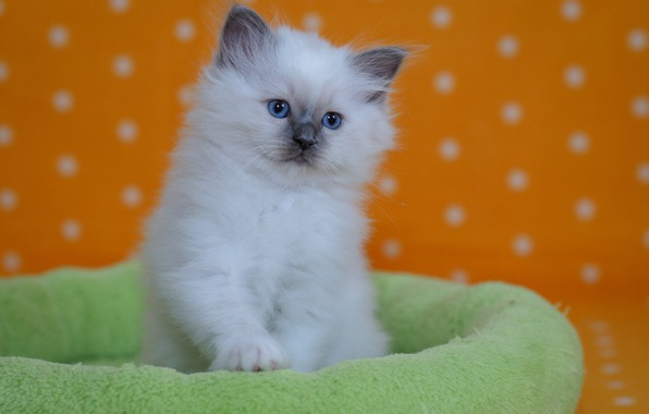 Picture baby, kitty, Ragdoll