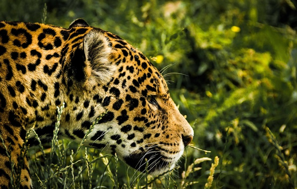 Picture greens, grass, face, predator, Jaguar, bokeh, spotted