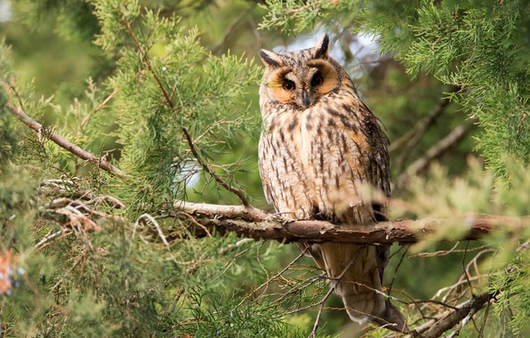 Picture forest, look, branches, nature, background, tree, owl, bird, branch, needles, owl, tail, motley, coniferous