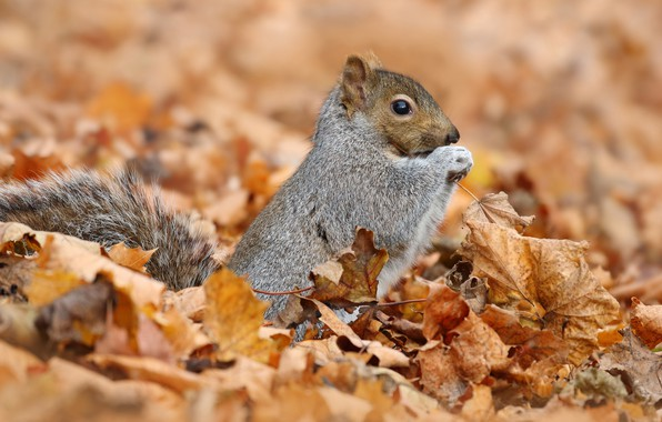 Picture autumn, animals, nature, background, foliage, protein, grey, squirrel, rodents