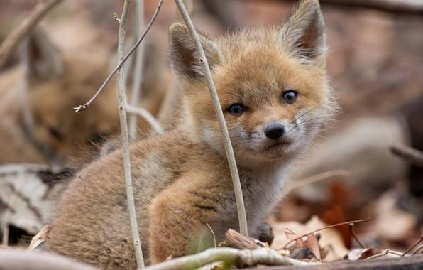 Picture look, nature, muzzle, Fox, Fox