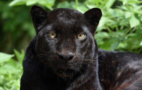 Picture face, portrait, predator, Panther, wild cat, black leopard