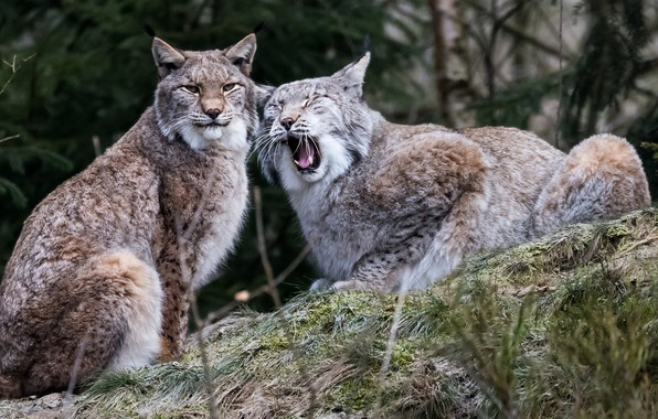 Picture pair, lynx, wild cat, lynx