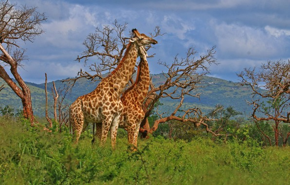 Picture trees, giraffes, a couple, South Africa, South Africa, uMkhuze Game Reserve