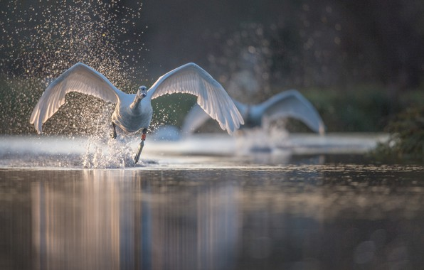 Picture water, squirt, bird, wings, Swan, run