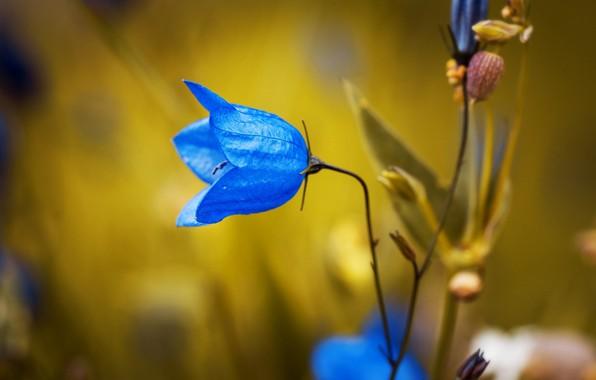 Picture macro, plant, petals, Campanula rotundifolia